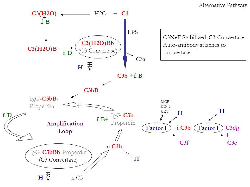 Alternative Pathway C3 C3b C3a LPS +H2OC3(H2O) + f B C3(H2O)B f D +f B C3bB f D IgG-C3bBb-Properdin (C3 Convertase) C3(H2O)Bb (C3 Convertase) IgG-C3bB- Properdin n C3 n C3b IgG-C3b- Properdin +f B i C3b + C3f C3dg + C3c H Factor I H MCP CD46 CR1 C3NeF Stabilized, C3 Convertase.