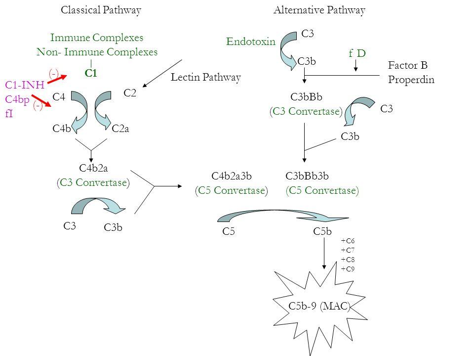 Classical Pathway Lectin Pathway Alternative Pathway Immune Complexes Non- Immune Complexes C1 C4 C4b C2 C2a C4b2a (C3 Convertase) C1-INH C4bp fI (-) C3 C3b C4b2a3b (C5 Convertase) C5C5b +C6 +C7 +C8 +C9 C5b-9 (MAC) Endotoxin C3 C3b Factor B Properdin f D C3bBb (C3 Convertase) C3b C3bBb3b (C5 Convertase) C3
