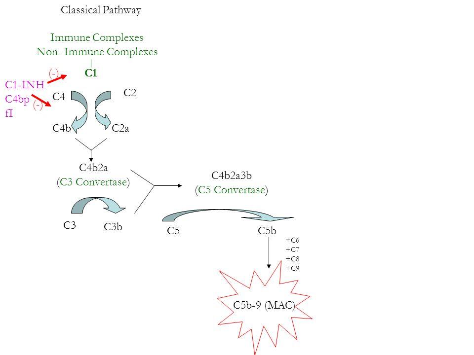 Classical Pathway Immune Complexes Non- Immune Complexes C1 C4 C4b C2 C2a C4b2a (C3 Convertase) C1-INH C4bp fI (-) C3 C3b C4b2a3b (C5 Convertase) C5C5b +C6 +C7 +C8 +C9 C5b-9 (MAC)