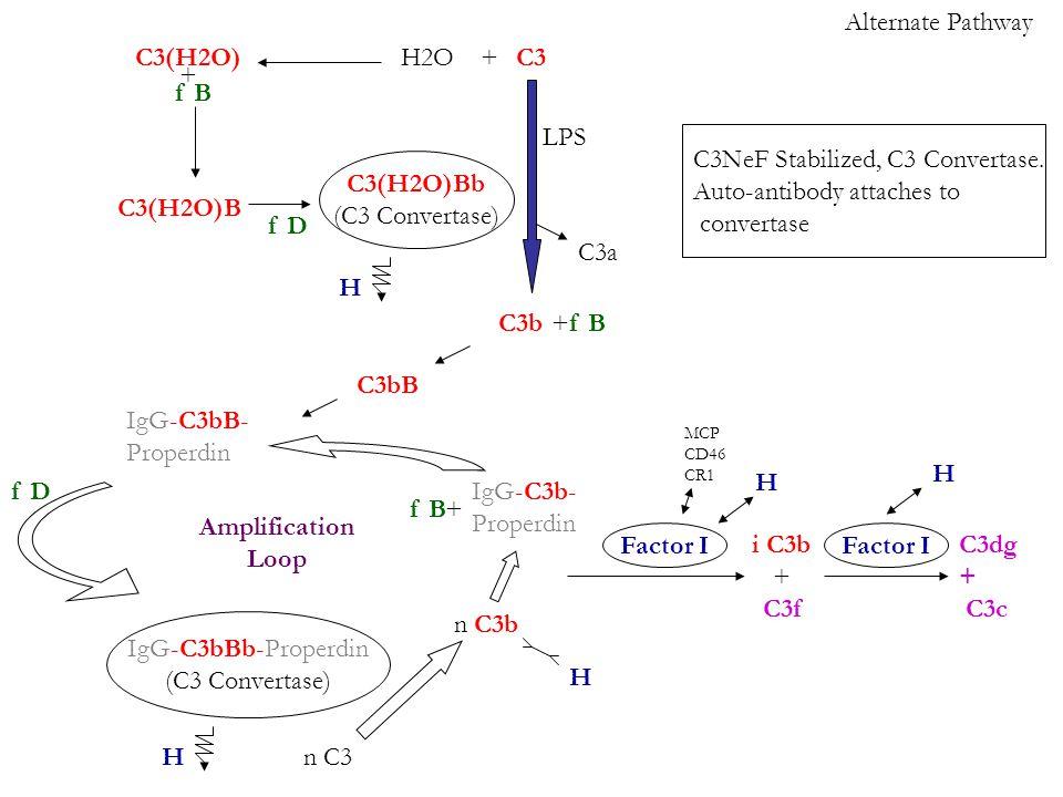 Alternate Pathway C3 C3b C3a LPS +H2OC3(H2O) + f B C3(H2O)B f D +f B C3bB f D IgG-C3bBb-Properdin (C3 Convertase) C3(H2O)Bb (C3 Convertase) IgG-C3bB- Properdin n C3 n C3b IgG-C3b- Properdin +f B i C3b + C3f C3dg + C3c H Factor I H MCP CD46 CR1 C3NeF Stabilized, C3 Convertase.