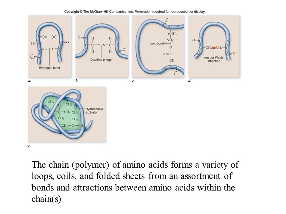 Fig. 3.21 The chain (polymer) of amino acids forms a variety of loops, coils, and folded sheets from an assortment of bonds and attractions between am