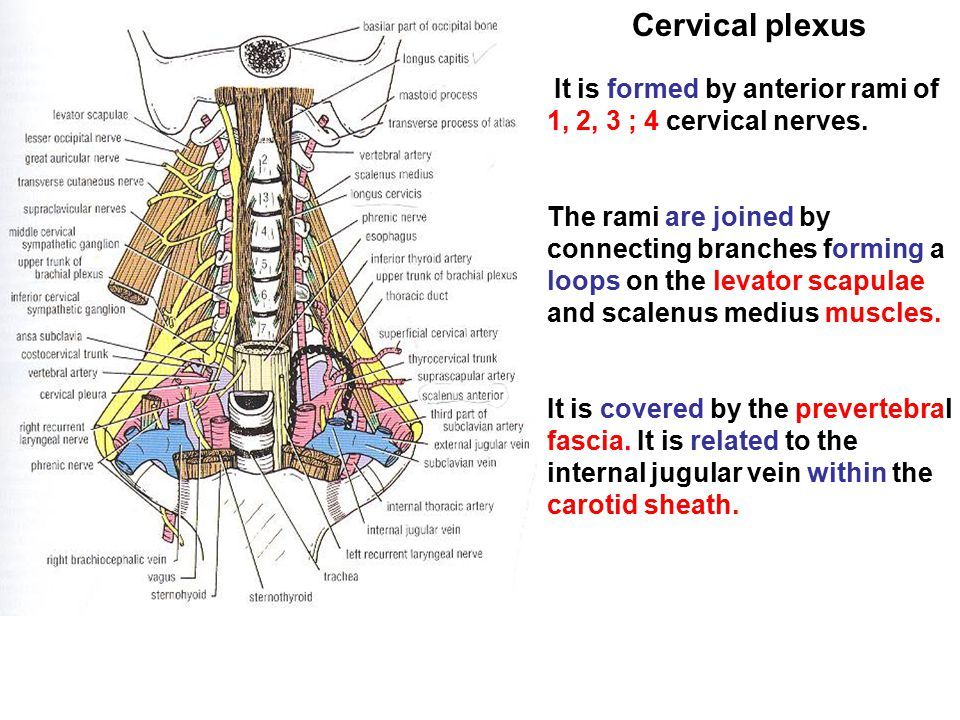 Cervical plexus It is formed by anterior rami of 1, 2, 3 ; 4 cervical nerves. The rami are joined by connecting branches forming a loops on the levato