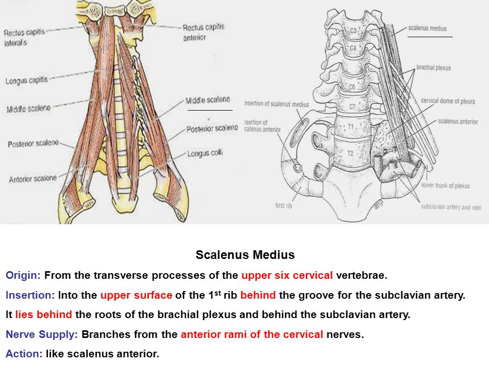Scalenus Posterior Origin: From the transverse processes of the lower cervical vertebrae.