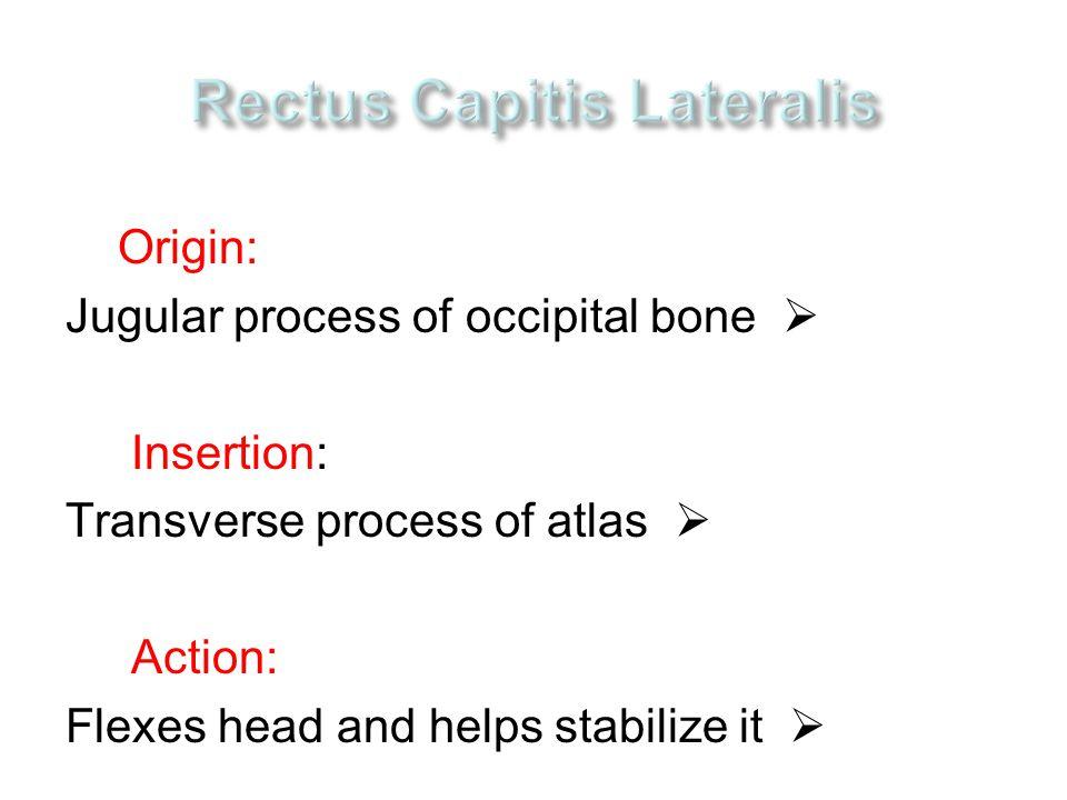 Origin:  Jugular process of occipital bone Insertion:  Transverse process of atlas Action:  Flexes head and helps stabilize it