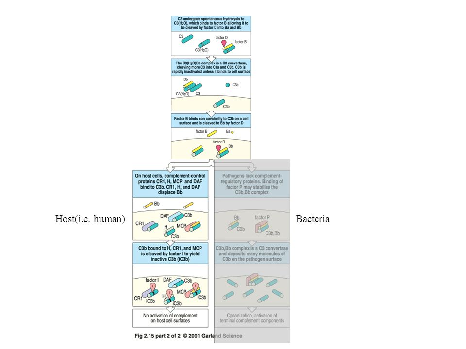 Host(i.e. human)Bacteria