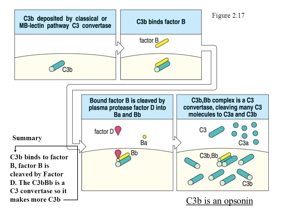 Figure 2.17 C3b binds to factor B, factor B is cleaved by Factor D.