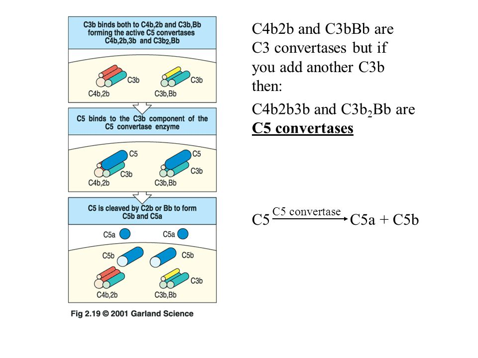 C4b2b3b and C3b 2 Bb are C5 convertases C5 C5a + C5b C5 convertase C4b2b and C3bBb are C3 convertases but if you add another C3b then: