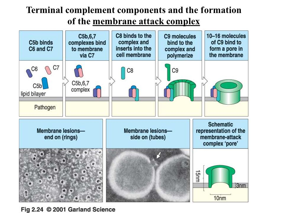 Terminal complement components and the formation of the membrane attack complex