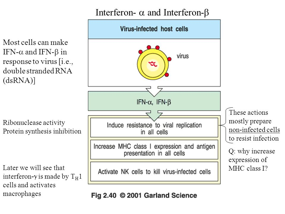 Interferon-  and Interferon-  Later we will see that interferon-  is made by T H 1 cells and activates macrophages Most cells can make IFN-  and IFN-  in response to virus [i.e., double stranded RNA (dsRNA)] Ribonuclease activity Protein synthesis inhibition These actions mostly prepare non-infected cells to resist infection Q: why increase expression of MHC class I