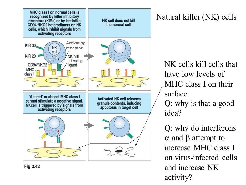 Natural killer (NK) cells Activating receptor Q: why is that a good idea.