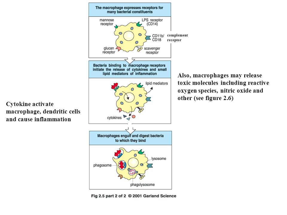Also, macrophages may release toxic molecules including reactive oxygen species, nitric oxide and other (see figure 2.6) Cytokine activate macrophage, dendritic cells and cause inflammation complement receptor