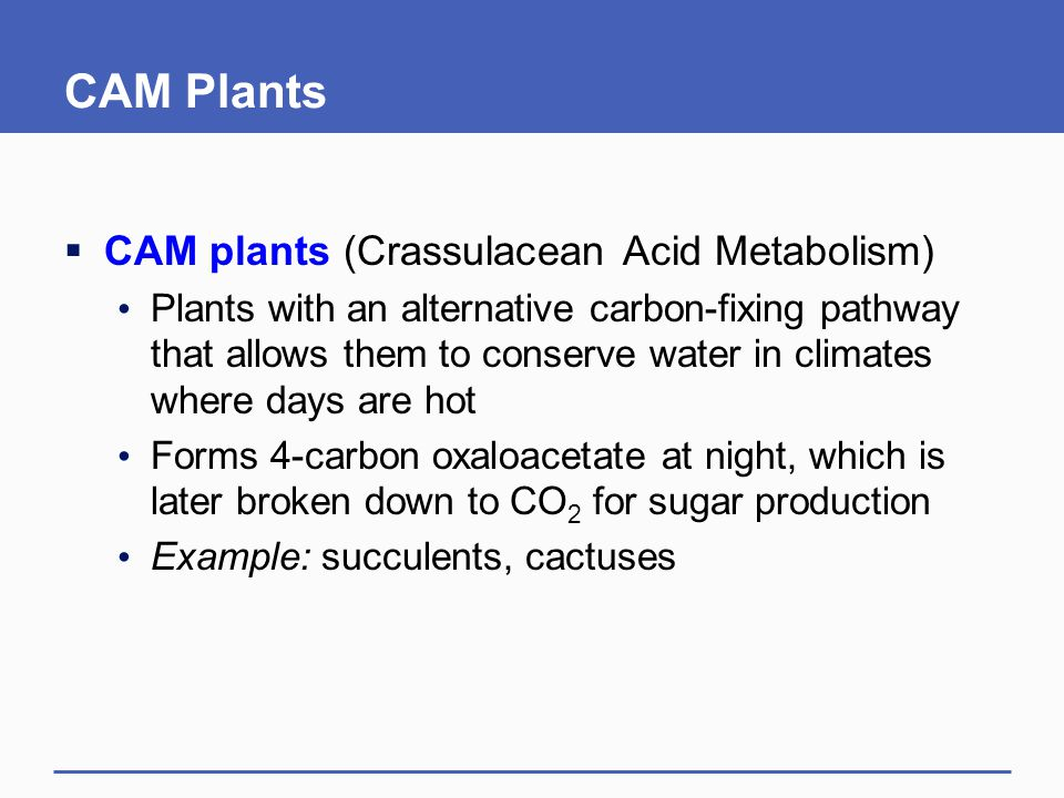 CAM Plants  CAM plants (Crassulacean Acid Metabolism) Plants with an alternative carbon-fixing pathway that allows them to conserve water in climates where days are hot Forms 4-carbon oxaloacetate at night, which is later broken down to CO 2 for sugar production Example: succulents, cactuses