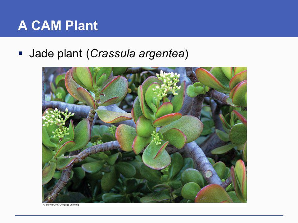 A CAM Plant  Jade plant (Crassula argentea)