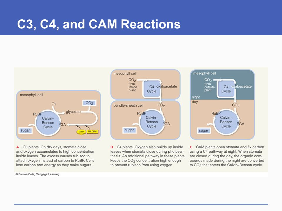 C3, C4, and CAM Reactions