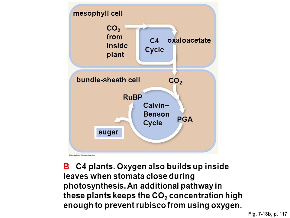 mesophyll cell CO 2 from inside plant oxaloacetate C4 Cycle CO 2 bundle-sheath cell RuBP Calvin– Benson Cycle PGA sugar B C4 plants. Oxygen also build