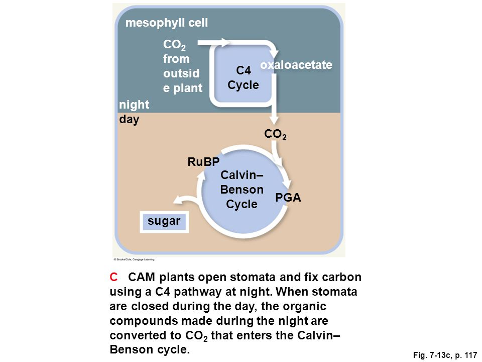 mesophyll cell CO 2 from outsid e plant C4 Cycle oxaloacetate night day CO 2 RuBP Calvin– Benson Cycle PGA sugar C CAM plants open stomata and fix car