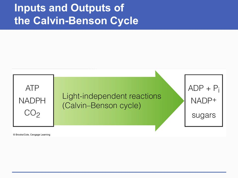Inputs and Outputs of the Calvin-Benson Cycle