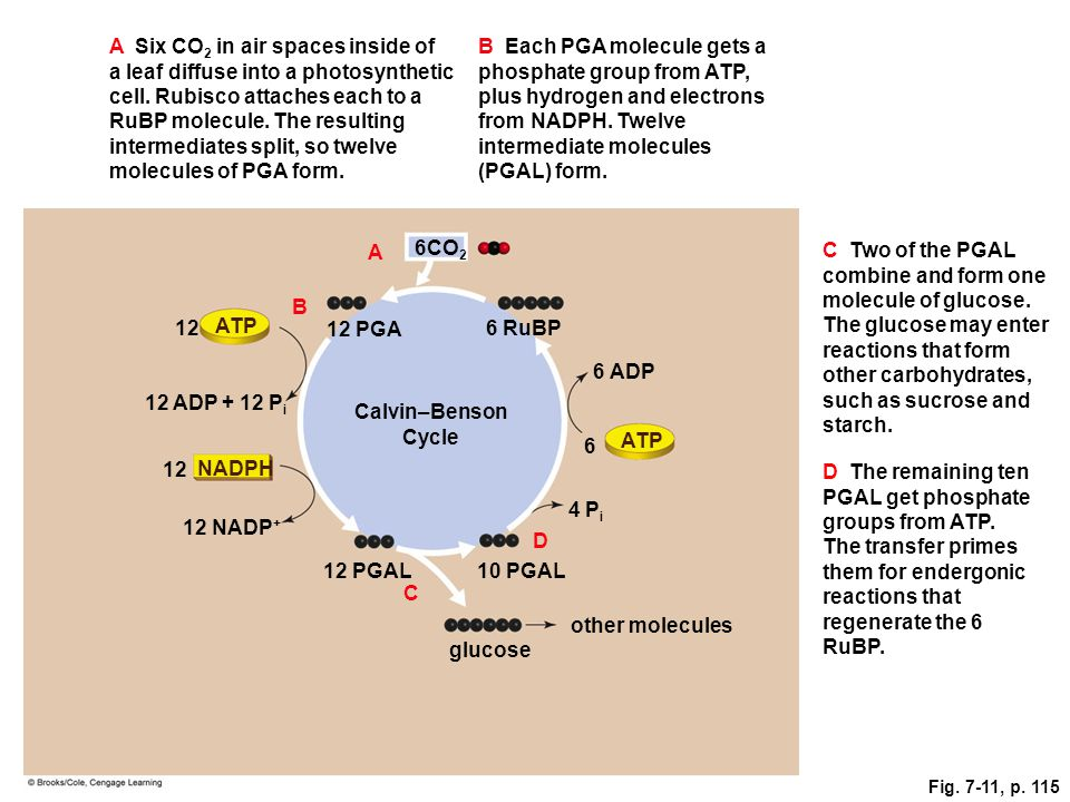 Fig. 7-11, p. 115 A Six CO 2 in air spaces inside of a leaf diffuse into a photosynthetic cell. Rubisco attaches each to a RuBP molecule. The resultin