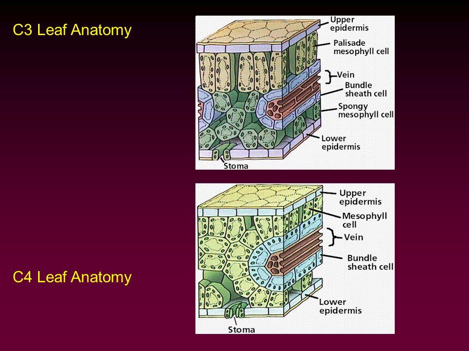 C3 Leaf Anatomy C4 Leaf Anatomy