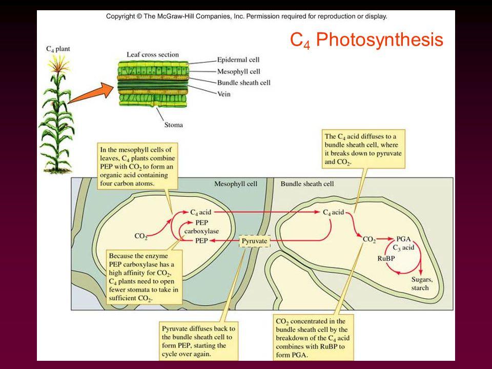 C 4 Photosynthesis