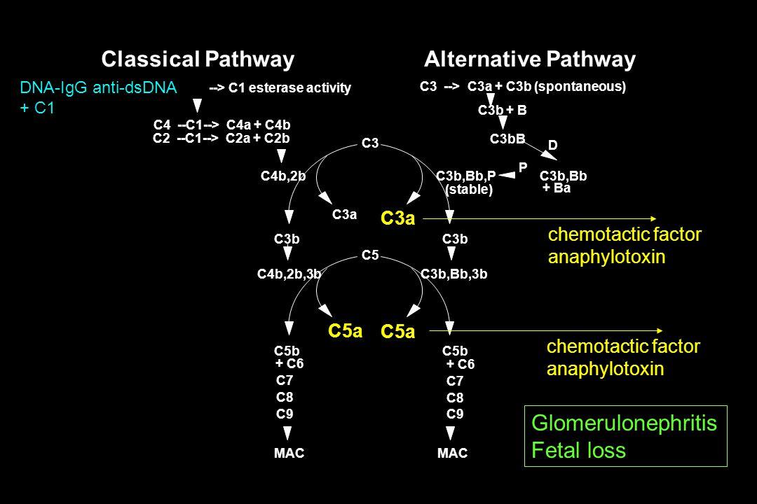 --> C1 esterase activity C4 --C1--> C4a + C4b C2 --C1--> C2a + C2b C4b,2b C3 C3b C4b,2b,3b C5 C5b C3a C5a MAC Classical Pathway C3b C3b,Bb,3b C5b C3a C5a MAC C3b,BbC3b,Bb,P P C3bB D + Ba C3b + B C3 --> C3a + C3b (spontaneous) (stable) Alternative Pathway + C6 C7 C8 C9 + C6 C7 C8 C9 chemotactic factor anaphylotoxin chemotactic factor anaphylotoxin DNA-IgG anti-dsDNA + C1 Glomerulonephritis Fetal loss