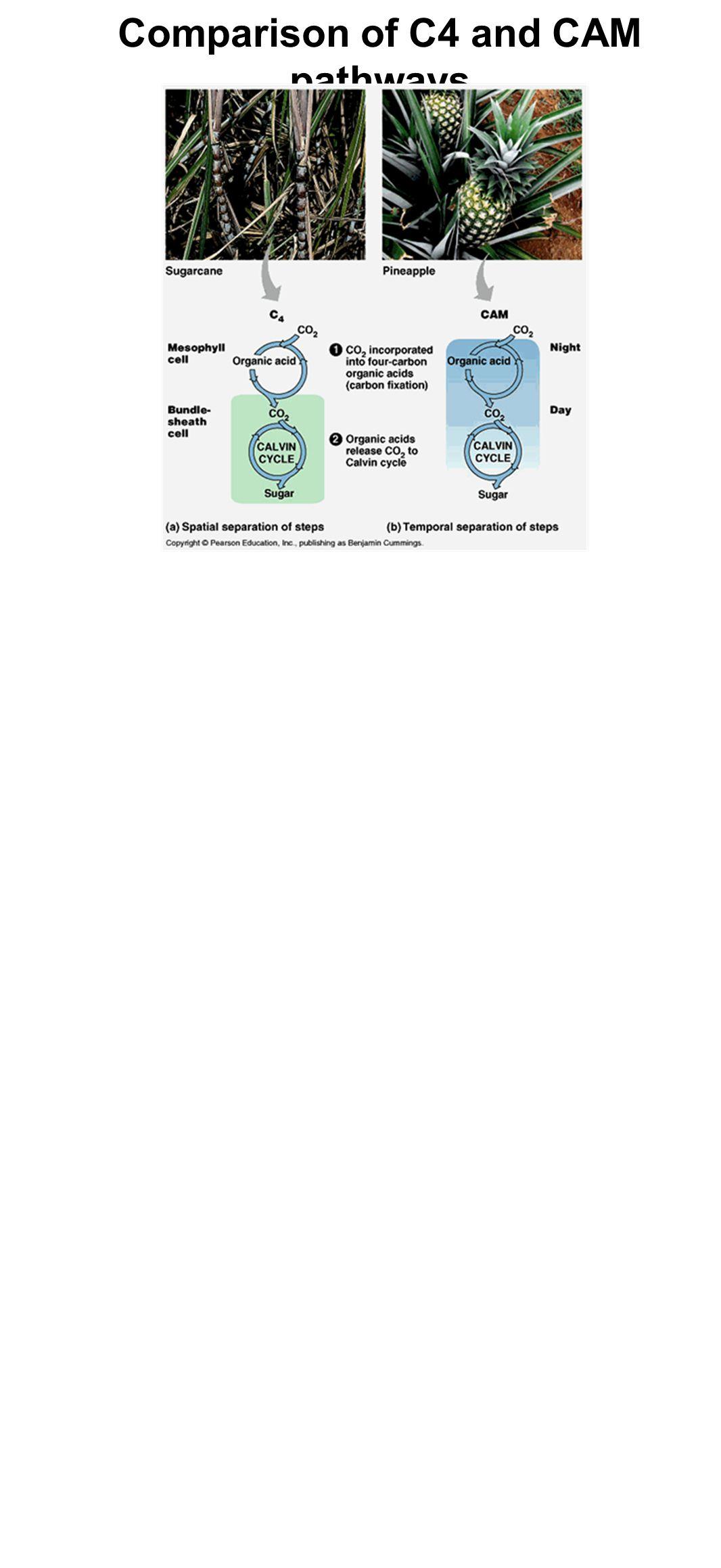Comparison of C4 and CAM pathways