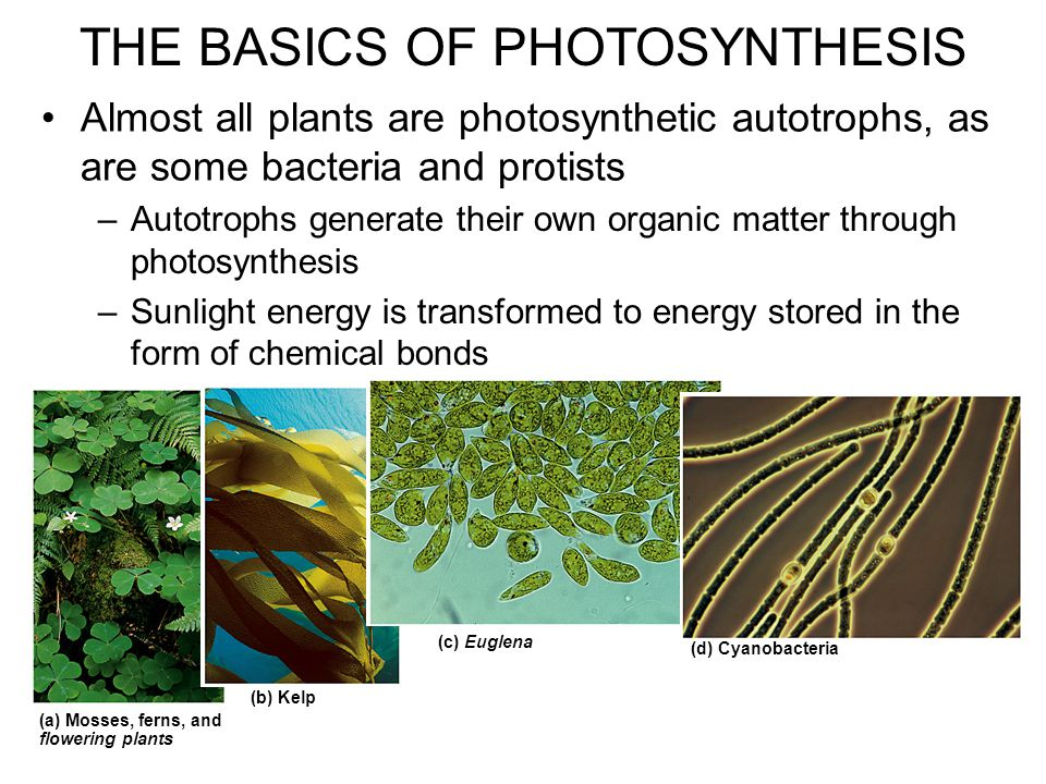 Almost all plants are photosynthetic autotrophs, as are some bacteria and protists –Autotrophs generate their own organic matter through photosynthesis –Sunlight energy is transformed to energy stored in the form of chemical bonds (a) Mosses, ferns, and flowering plants (b) Kelp (c) Euglena (d) Cyanobacteria THE BASICS OF PHOTOSYNTHESIS