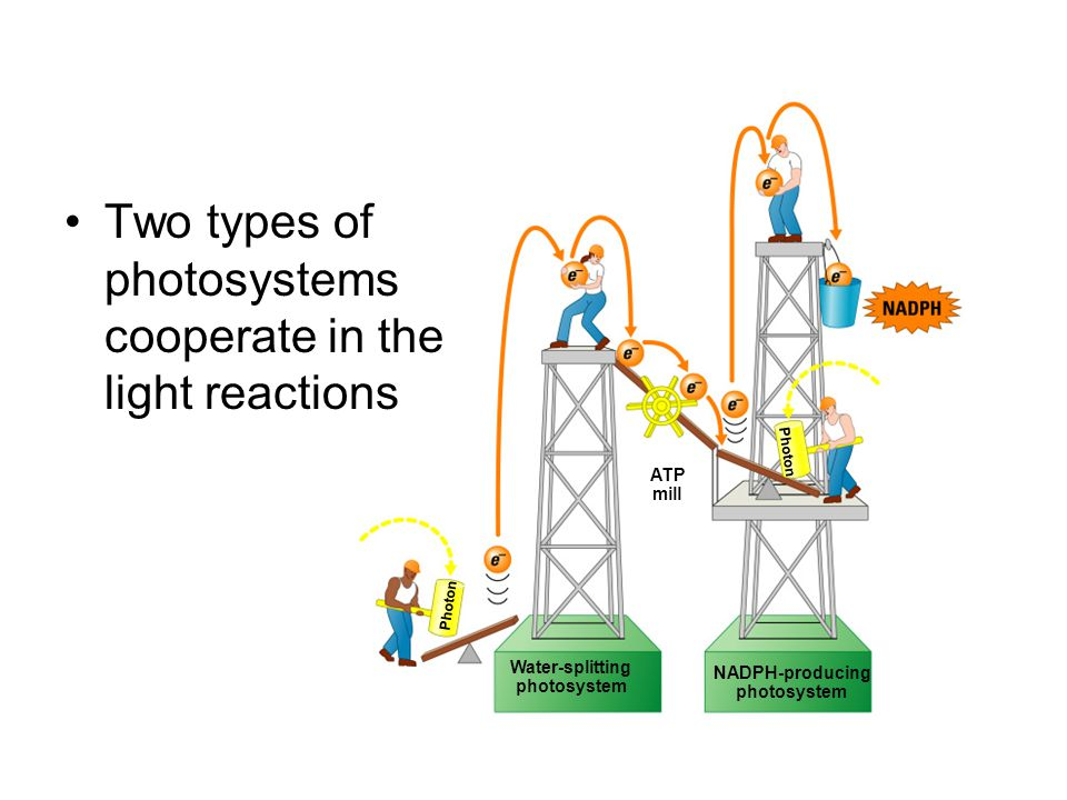 Photon Water-splitting photosystem NADPH-producing photosystem ATP mill Two types of photosystems cooperate in the light reactions