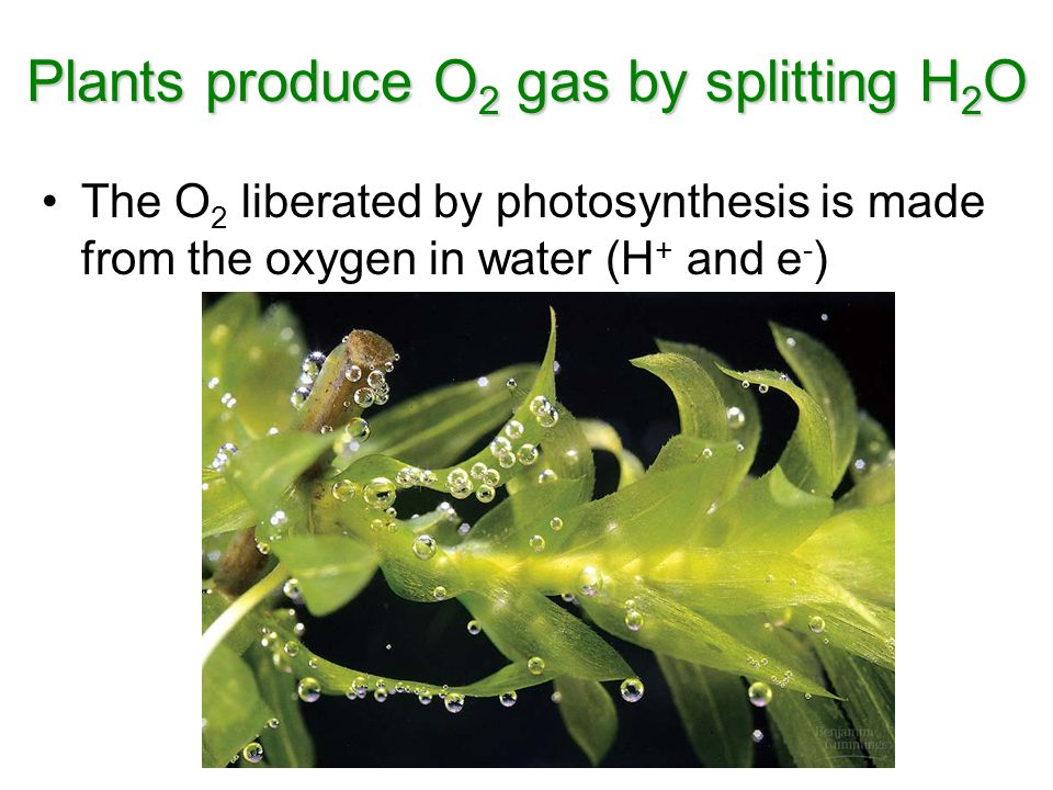 The O 2 liberated by photosynthesis is made from the oxygen in water (H + and e - ) Plants produce O 2 gas by splitting H 2 O