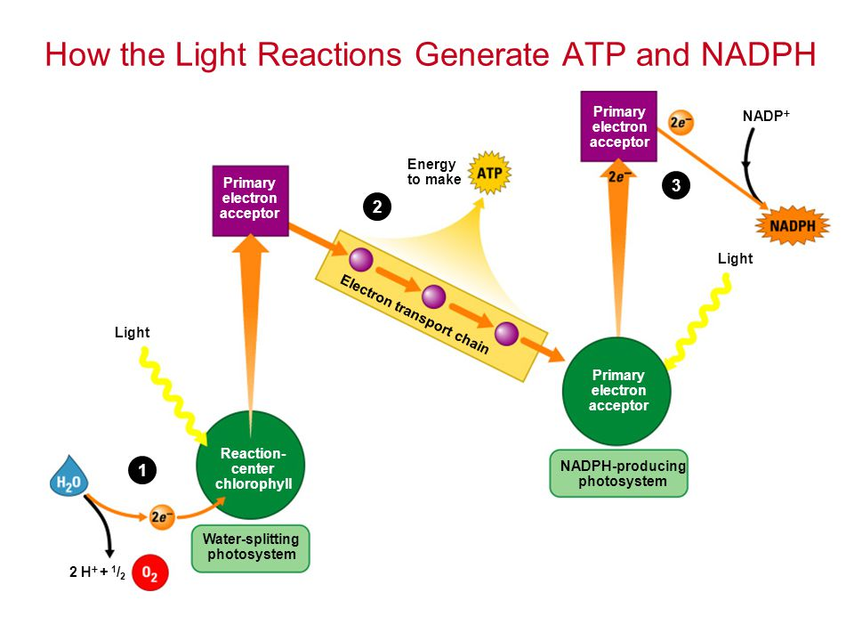 2 H  + 1 / 2 Water-splitting photosystem Reaction- center chlorophyll Light Primary electron acceptor Energy to make Electron transport chain Primary electron acceptor Primary electron acceptor NADPH-producing photosystem Light NADP  1 2 3 How the Light Reactions Generate ATP and NADPH