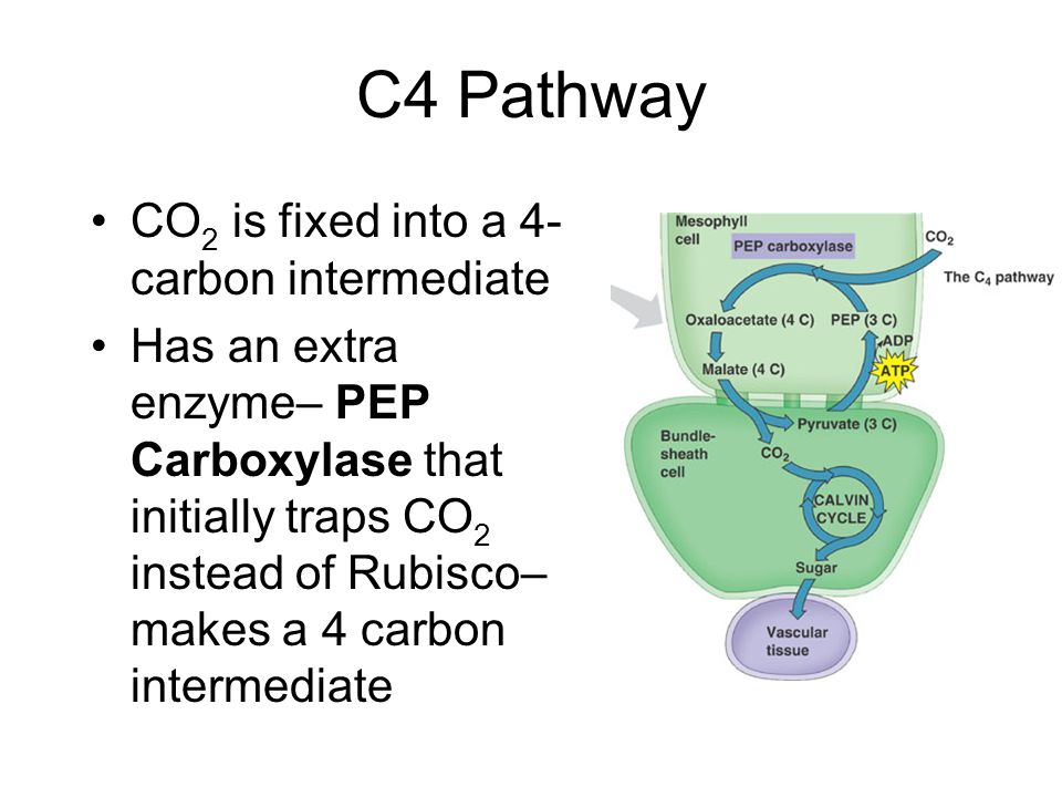 C4 Pathway CO 2 is fixed into a 4- carbon intermediate Has an extra enzyme– PEP Carboxylase that initially traps CO 2 instead of Rubisco– makes a 4 carbon intermediate