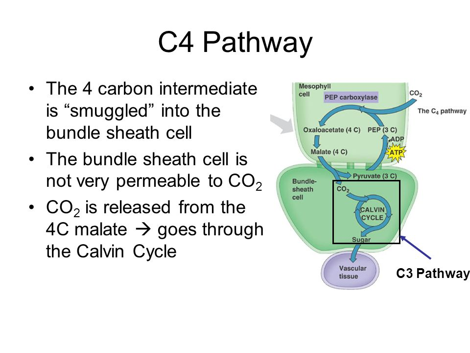 C4 Pathway The 4 carbon intermediate is smuggled into the bundle sheath cell The bundle sheath cell is not very permeable to CO 2 CO 2 is released from the 4C malate  goes through the Calvin Cycle C3 Pathway
