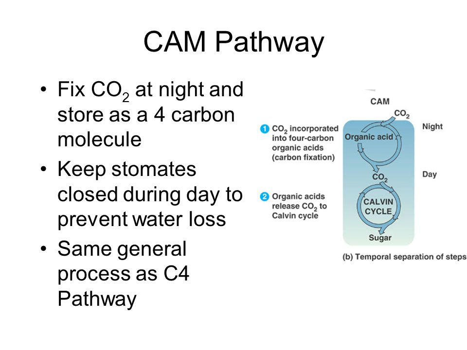 CAM Pathway Fix CO 2 at night and store as a 4 carbon molecule Keep stomates closed during day to prevent water loss Same general process as C4 Pathway