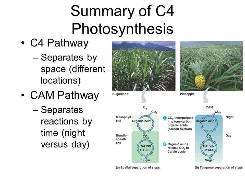 Summary of C4 Photosynthesis C4 Pathway –Separates by space (different locations) CAM Pathway –Separates reactions by time (night versus day)