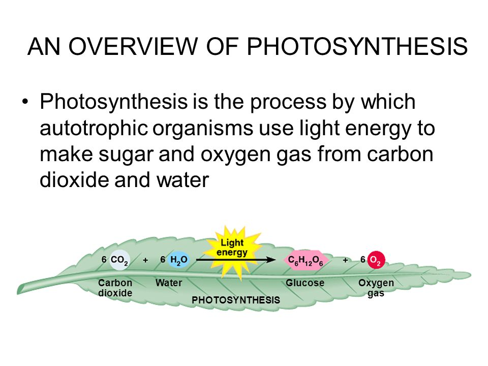 Photosynthesis is the process by which autotrophic organisms use light energy to make sugar and oxygen gas from carbon dioxide and water AN OVERVIEW OF PHOTOSYNTHESIS Carbon dioxide WaterGlucoseOxygen gas PHOTOSYNTHESIS