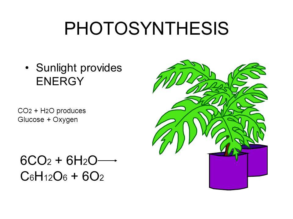 PHOTOSYNTHESIS Sunlight provides ENERGY CO 2 + H 2 O produces Glucose + Oxygen 6CO 2 + 6H 2 O C 6 H 12 O 6 + 6O 2