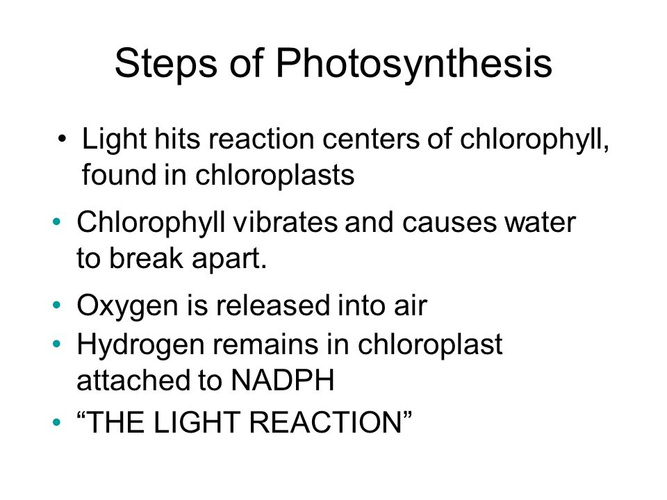 Steps of Photosynthesis Light hits reaction centers of chlorophyll, found in chloroplasts Chlorophyll vibrates and causes water to break apart.