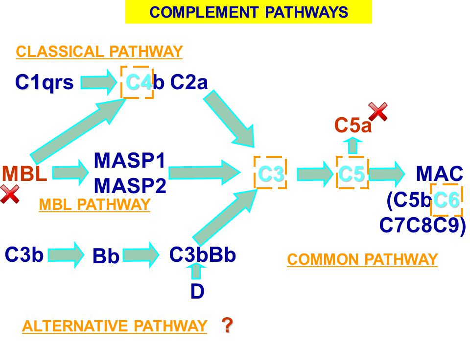 C1q C1qrs C4 C4bC2a C3C5MAC CLASSICAL PATHWAY MBL PATHWAY ALTERNATIVE PATHWAY C6 (C5bC6 C7C8C9) C3b Bb C3bBb MBL MASP1 MASP2 COMPLEMENT PATHWAYS C5a ?