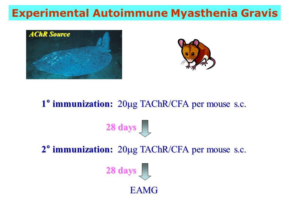 1° immunization: 20  g TAChR/CFA per mouse s.c.2° immunization: 20  g TAChR/CFA per mouse s.c.