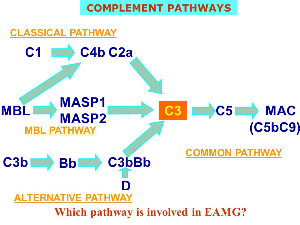 C1C4bC2a C3C5MAC CLASSICAL PATHWAY MBL PATHWAY ALTERNATIVE PATHWAY (C5bC9) C3b Bb C3bBb MBL MASP1 MASP2 COMPLEMENT PATHWAYS Which pathway is involved