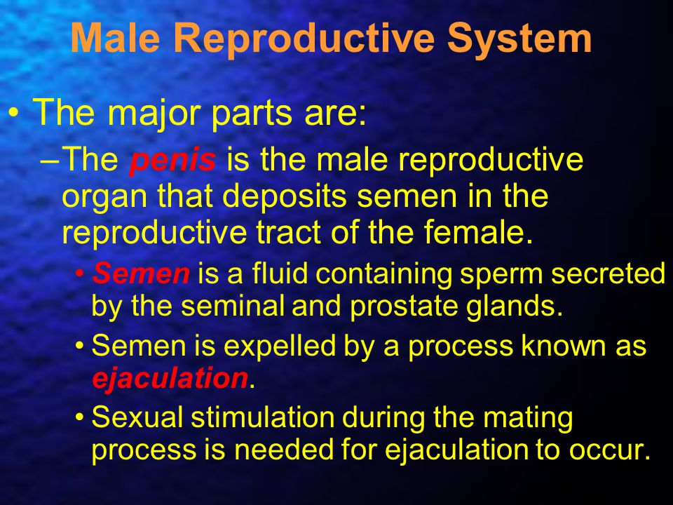 Male Reproductive System The major parts are: –The penis is the male reproductive organ that deposits semen in the reproductive tract of the female. S