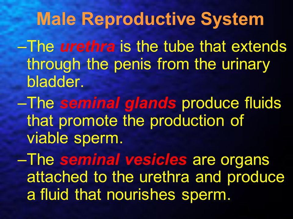 Male Reproductive System –The urethra is the tube that extends through the penis from the urinary bladder. –The seminal glands produce fluids that pro