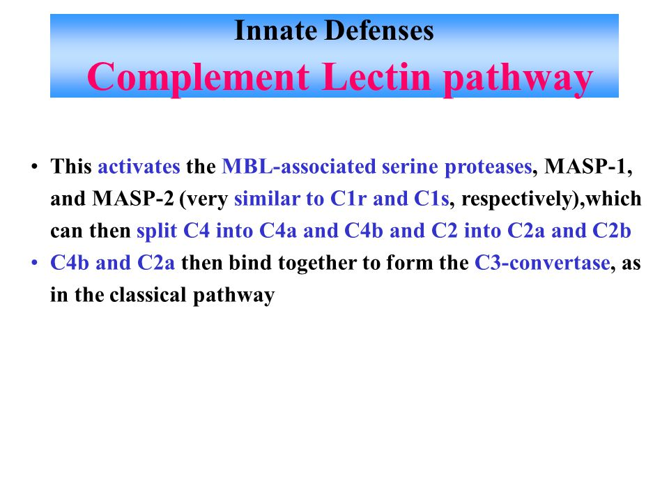 Innate Defenses Complement Lectin pathway This activates the MBL-associated serine proteases, MASP-1, and MASP-2 (very similar to C1r and C1s, respectively),which can then split C4 into C4a and C4b and C2 into C2a and C2b C4b and C2a then bind together to form the C3-convertase, as in the classical pathway