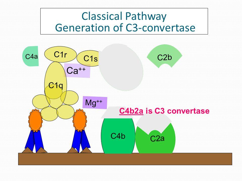 Ca ++ C1r C1s C1q C4 C4a b Classical Pathway Generation of C3-convertase