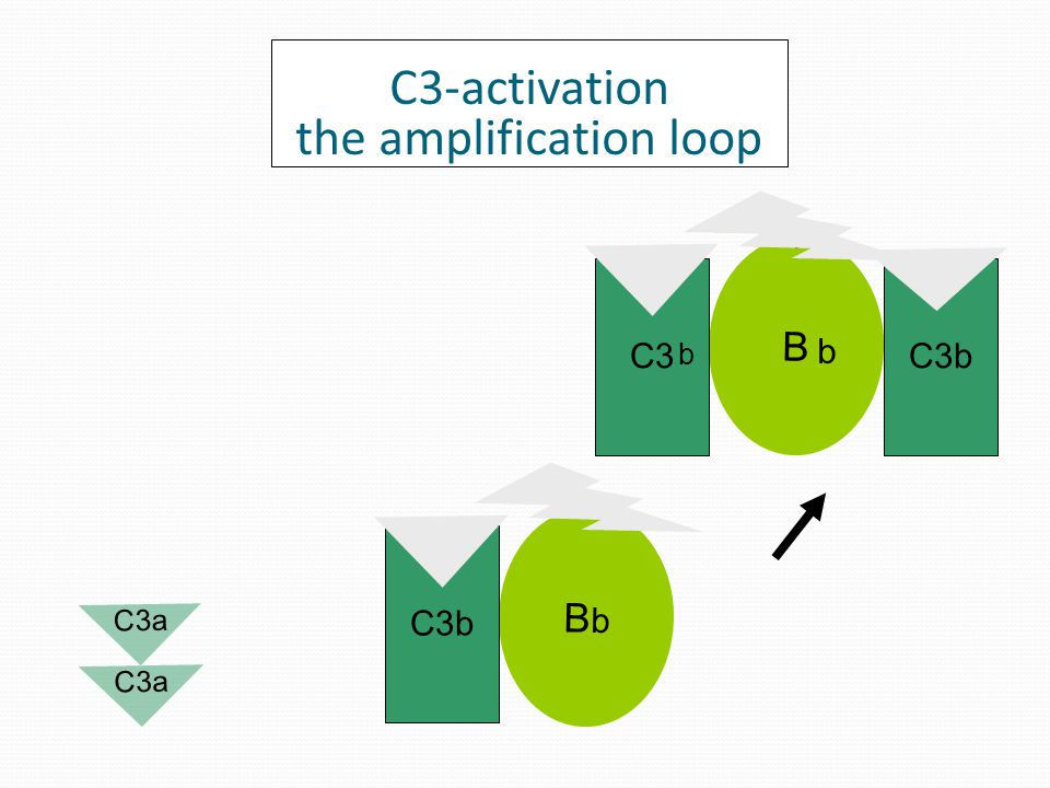 B D b C3b If spontaneously-generated C3b is not degraded C3-activation the amplification loop C3 C3a b