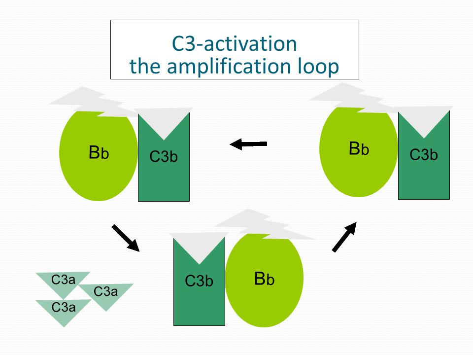 C3a BbBb C3b BbBb BbBb C3a C3-activation the amplification loop C3b