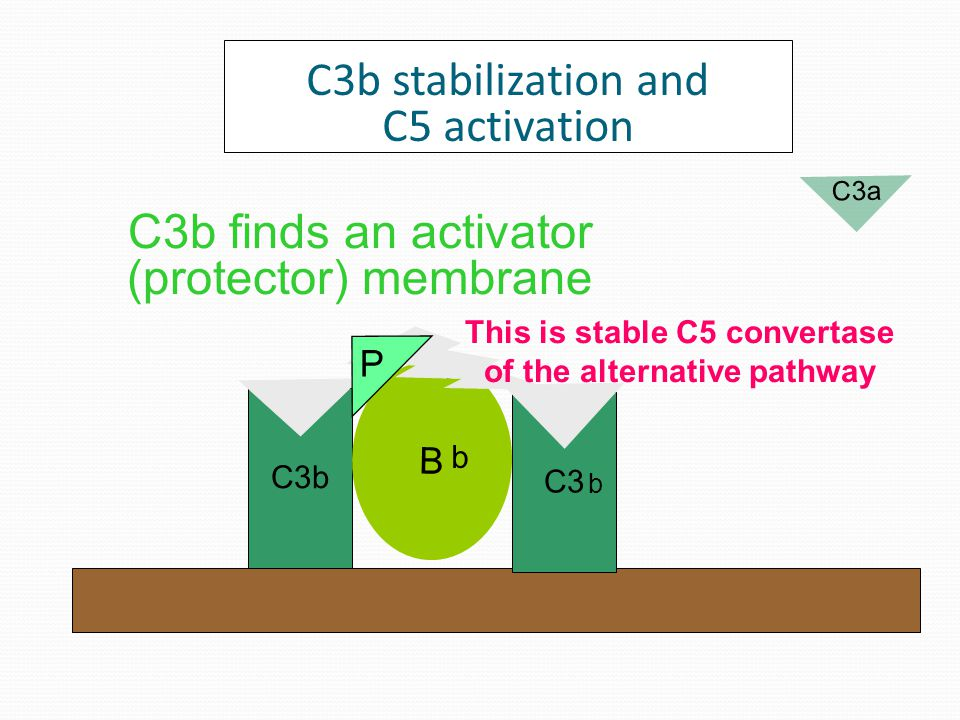 Degradation of spontaneously produced C3b C3b iC3b II C3dg C3c