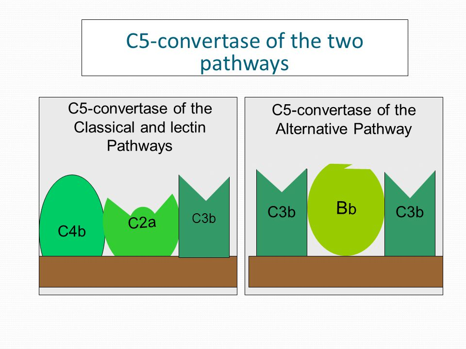 C3b regulation on self and activator surfaces C3b