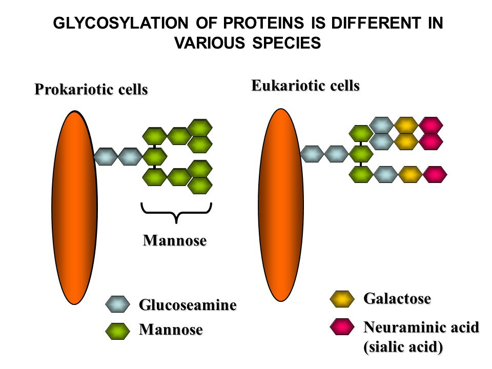 Eukariotic cells Glucoseamine Mannose Galactose Neuraminic acid (sialic acid) GLYCOSYLATION OF PROTEINS IS DIFFERENT IN VARIOUS SPECIES Mannose Prokariotic cells