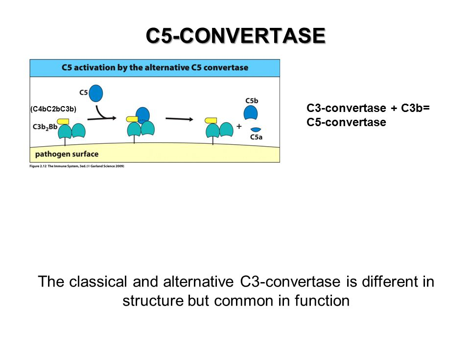 C5-CONVERTASE C3-convertase + C3b= C5-convertase (C4bC2bC3b) The classical and alternative C3-convertase is different in structure but common in function